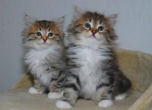 Carillocat Tuva-Tolv og søsteren Tilla-Tolv