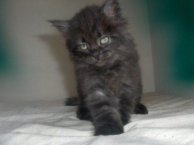 Månedens katt september 2007: (N) Gaupekatten's Chosen One Harry