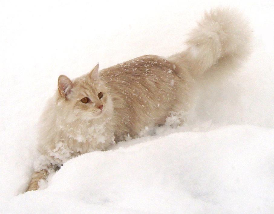 Månedens katt desember 2007: (N) Siberikos Romeo