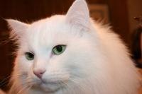 Månedens katt januar 2007: S*Nikopeja's Gozha Belobrodnik