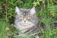 Månedens katt oktober 2007: S*Nikopeja's Ionna Kasianovna