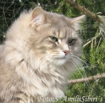 Månedens katt juni 2007: S*Sibericat Maltcheck