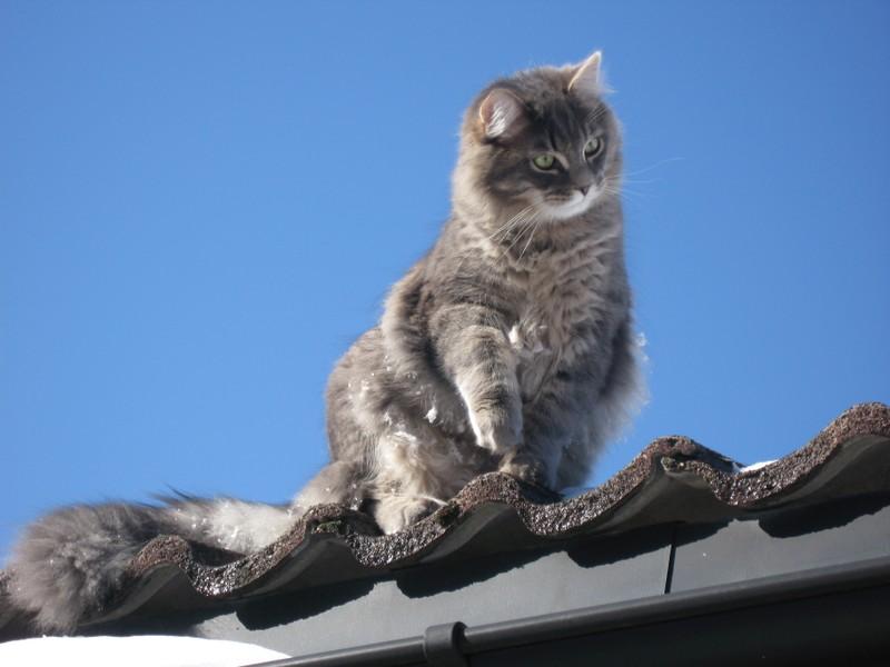 Månedens katt april 2008: (N) Gaupekattens Drage