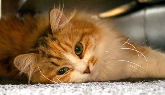 Månedens katt januar 2008: Katyenka Efrem*UK