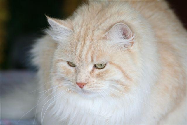 Månedens katt oktober 2008: S*Salikons Lia