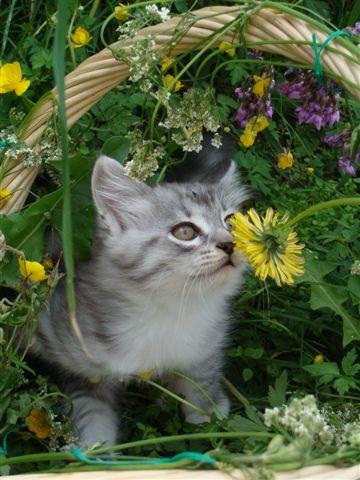 Månedens katt juli 2008: S*Isrosens Amadeus
