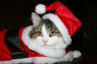 Månedens katt desember 2008: Fin*Aq-Bars Bulka
