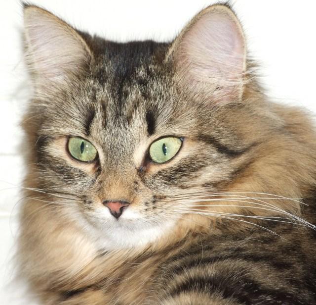 Månedens katt oktober 2009: RUS*Raisa Vemas