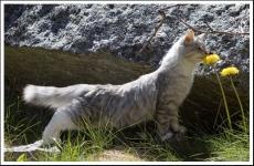 Månedens katt august 2009: S*Aleigas Tsara Stasia. Tema: Sommer!