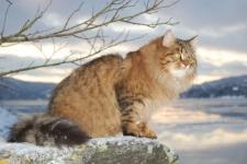 Månedens katt februar 2009: S*Gorabellas Gorislava - voksen. Tema: Hvem har utviklet seg best?
