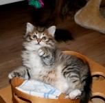 Månedens katt juni 2009: S*Nikopejas Moira Kasianovna. Tema: Lek