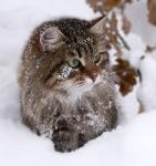 Månedens katt mars 2009: Delta Delissa Darrem Casus*CZ. Tema: Vinterpels.