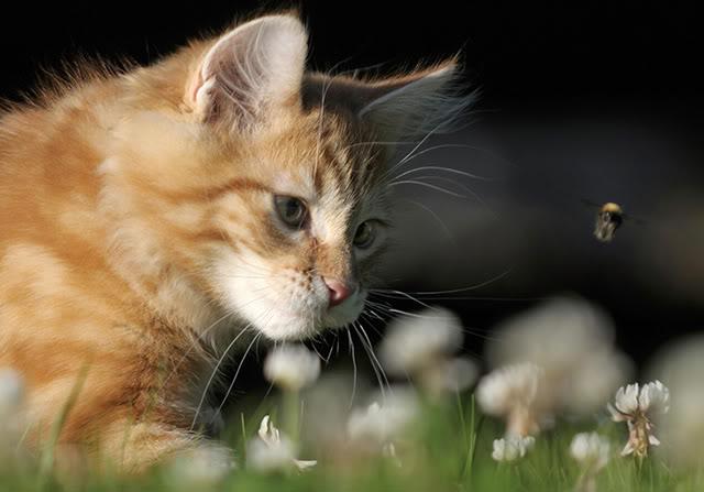 Månedens katt August 2011 - (N)Neofelis Godric. Eier er Elin Lundberg