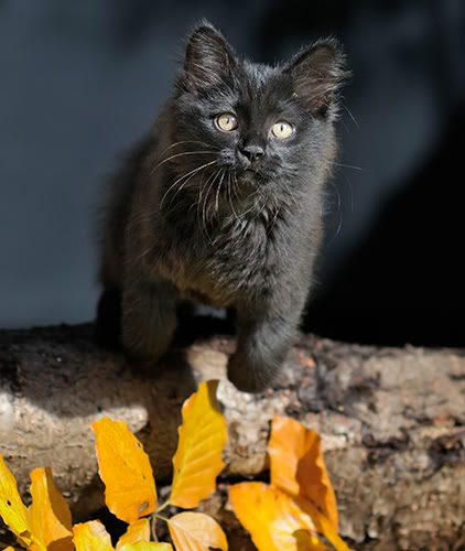 Månedens katt oktober 2011 - (N)Siberikos Junilla