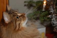 Månedens katt desember 2011 - S*Gorabellas Gorislava