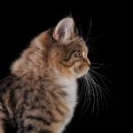 Månedens katt Mai 2011 - S*Klintgårdens Sharapova