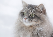 Månedens katt Januar 2011 - (N) Djenghis Cat Alvas Mosquito