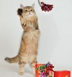 Månedens katt desember - J-Lo Xan od Krolowych*PL