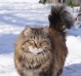 Månedens katt Oktober - CH S* Nikopejas Csilla