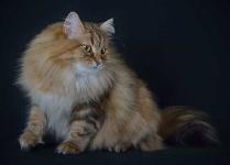 Månedens katt november 2013: Ebbi Rys od Krolowych*P