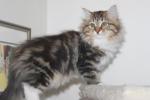 (N) Carillcoat Tuva-Tolv. Fargekode SIB n 09 22 (bruntabby med hvitt)