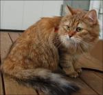 Sangera Syberinka*PL. Fargekode SIB fy 23 (goldenskilpadde-tigret)