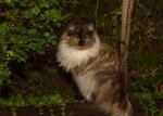 (N) Carillocat Weird Wonder. Fargekode SIB fs (svartsmokeskilpadde)