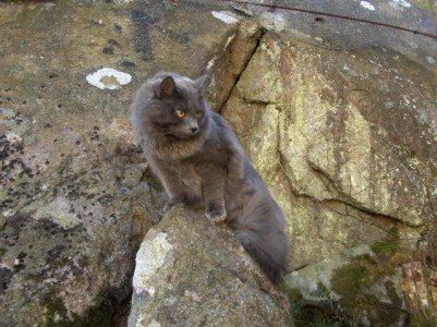 (N) Gaupekattens Arnado. Fargekode SIB a (blå)