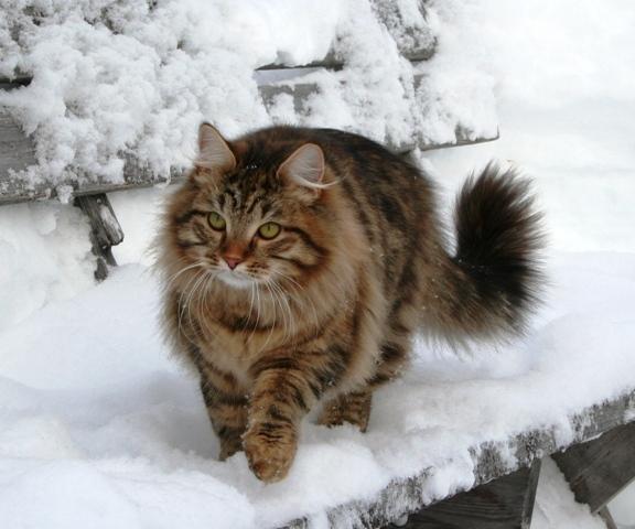 Månedens katt mars 2007: S*Klintgårdens Julenka