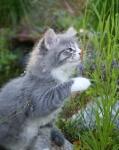 Månedens katt juli 2007: S*Stimics Lanson Lady