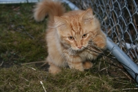 Månedens katt mai 2007: S*Klintgårdens Ramesh