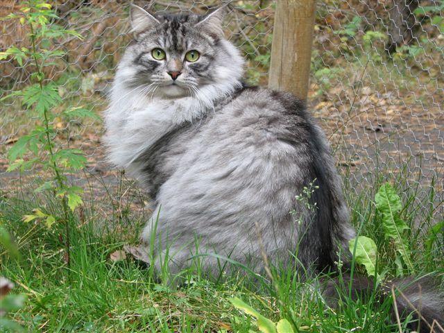 Månedens katt november 2007: S*Staffansgårdens Tsar