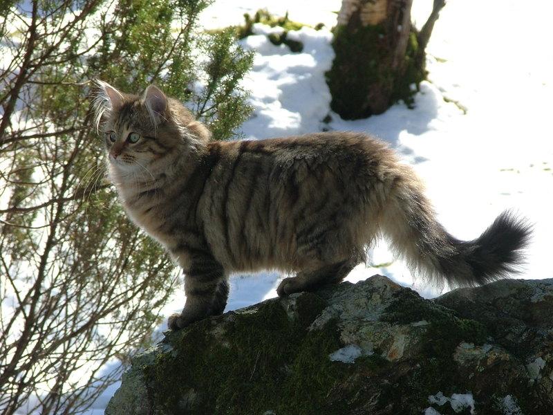 Månedens katt mai 2008: (N) Djenghis Cat Djenghis Fryd