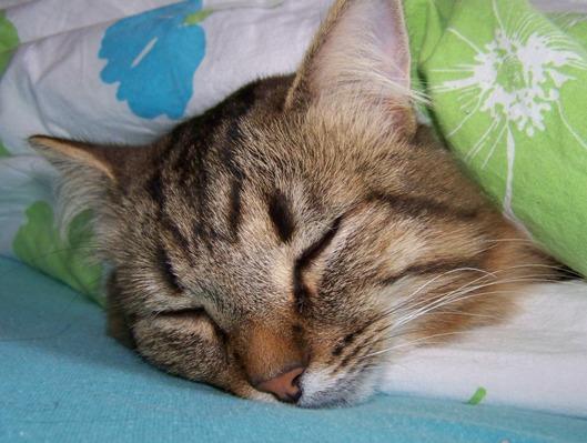 Månedens katt september 2008: (N) Sibirsvansens Markov