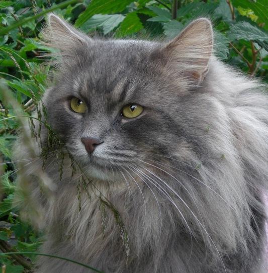 Månedens katt august 2008: S*Stimics Mr Mainio