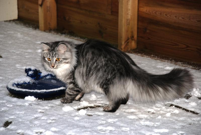 Månedens katt februar 2008: (N) Garmonia Zafirah