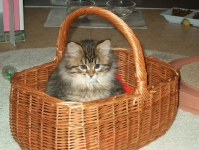 Månedens katt februar 2009: S*Gorabellas Gorislava - ung. Tema: Hvem har utviklet seg best?