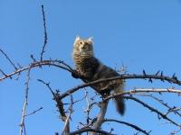 Månedens katt mai 2009: (N) Djenghiscat Djenghis Fryd. Tema: Våryr
