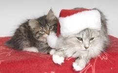 Månedens katt desember 2009: (N)Felixibir Flaminia og CH S Aleigas Tsara Stasia