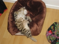 Månedens katt september 2009: (N) Laino Kattefryd I'm First. Tema: Sovestilling