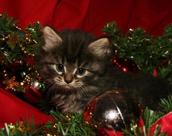 Månedens katt desember 2010: S*Maollichs Nikita Ivanov