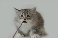 manedens-katt-april-2010-nneris-camaro-felis