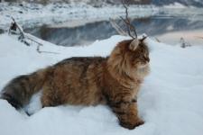 manedens-katt-februar-2010-gorabellas-gorislava