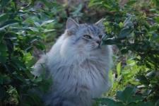 manedens-katt-september-2010-ic-de-passionata-enzo