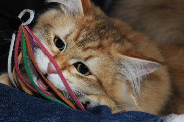 Månedens katt november 2011 - (N)Siberikos iBiz