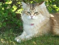 Månedens katt Juli 2011 - SC Camilla Onix Gloria *RUS
