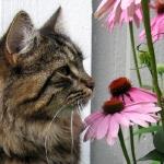 Månedens katt Juni 2011 - S*Lindevolls Xarjana