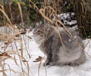 Månedens katt Februar 2011 - Calot av Holskogen (N)