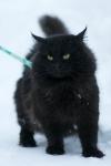 Månedens katt Mars 2011 - Junior Zagato Sibaris*RU