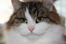 Månedens katt September 2011 - FIN*Aq-Bars Bulka